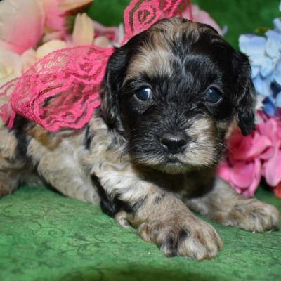 Female Blue Tan Merle Cockapoo Puppies for sale