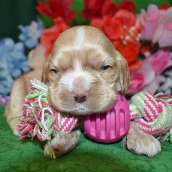 Cute buff cocker spaniel puppies available