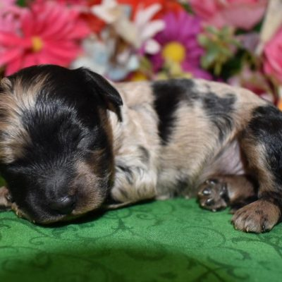 Blue tan merle cockapoo puppy for sale