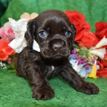 AKC Male Chocolate Cocker Spaniel Puppies for sale in Colorado