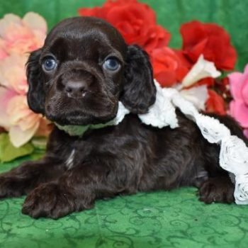 AKC Male Chocolate Cocker Spaniel Puppies for sale