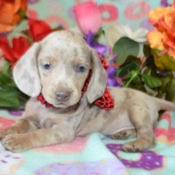 AKC Champion Bloodline Miniature Dachshund Puppies for Sale