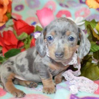 Merle Puppies - Miniature Dachshunds