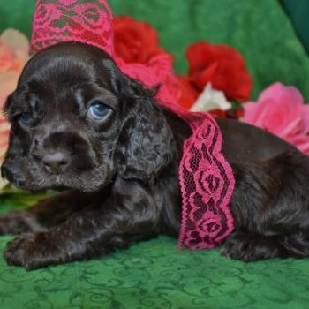 AKC Chocolate Cocker Spaniel Litter of Puppies for Sale in Colorado