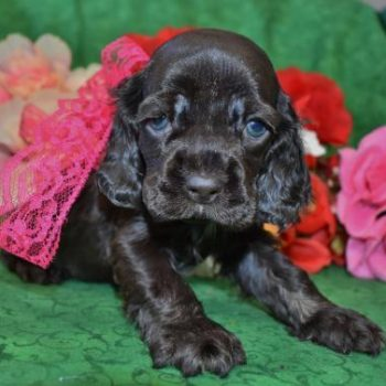 AKC Female Chocolate Cocker Spaniel Puppies for Sale in Colorado