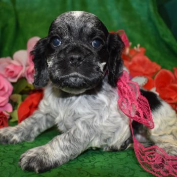 AKC Female Blue Roan Cocker Spaniel Puppy for Sale in Colorado