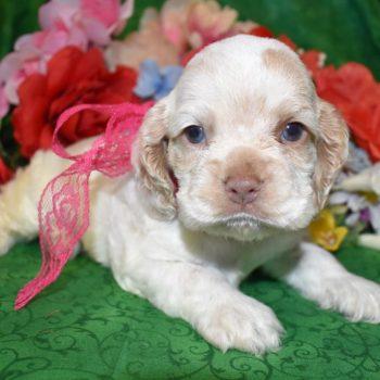 AKC Female Red Roan Cocker Spaniel Puppy for Sale in Colorado
