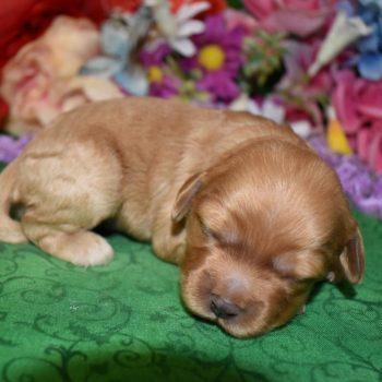 buff colored cockapoo puppy for sale