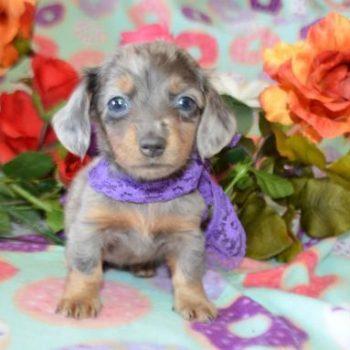 Avery Female Blue Dapple Dachshund Puppy Miniature