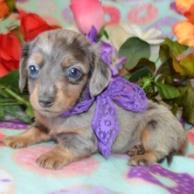 Blue Dapple LH Miniature Dachshund Puppies