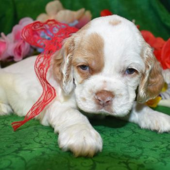 AKC Red Parti Cocker Spaniel Puppies for sale