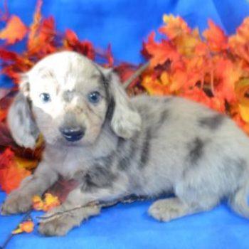 Female Blue Dapple Long Hair Miniature Dachshund Puppies for sale
