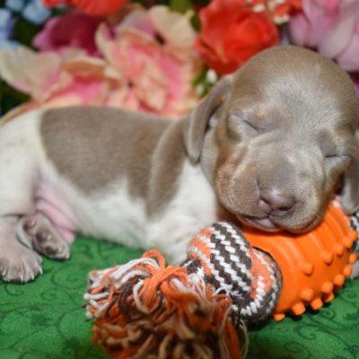AKC male isabelle tan irish piebald (white) smooth coat miniature dachshund puppy