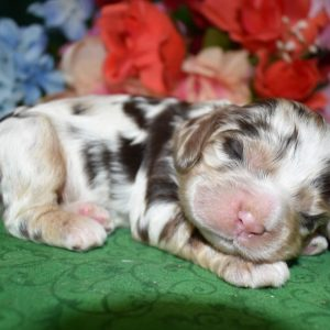 Cute Merle Cocker Spaniel