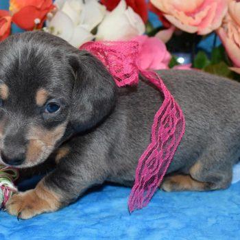 Adopt miniature dachshund puppies