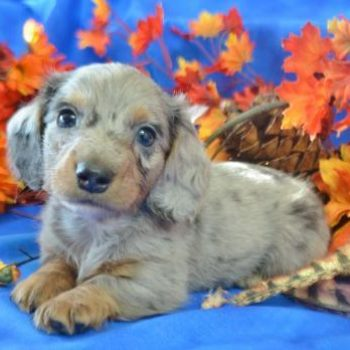 Miniature dachshund puppies for sale in colorado