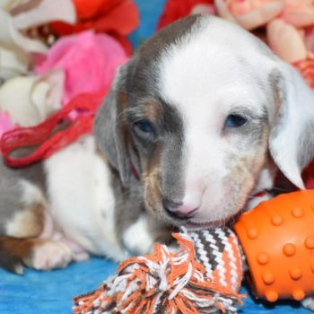 blue cream smooth coat miniature dachshund puppies with ocean blue eyes
