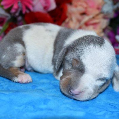 blue cream dapple miniature dachshund pup for sale