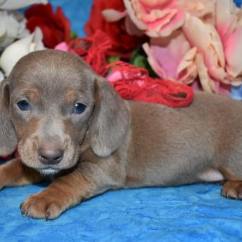AKC male isabelle tan smooth coat miniature dachshund puppies for sale