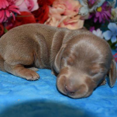 tan miniature dachshund pups
