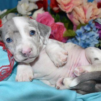 blue cream smooth coat dapple miniature dachshund breeders