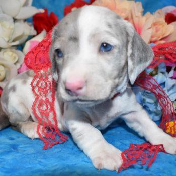 blue cream smooth coat dapple miniature dachshund puppies in Colorado