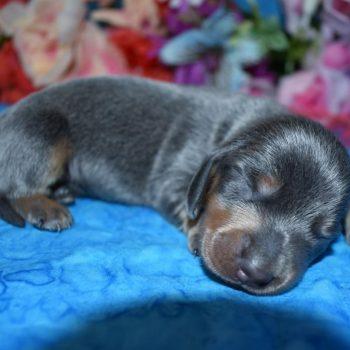 blue tan mini dachshund puppies