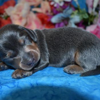 AKC Miniature Dachshund Puppies Available