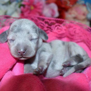 blue cream dapple miniature dachshund puppies for sale