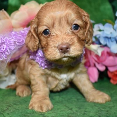 buff cockapoo pup for sale