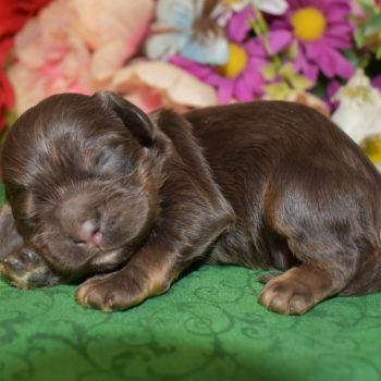 chocolate tan cocker spaniel puppies