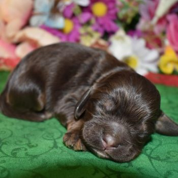 chocolate and tan AKC Cocker spaniel litter