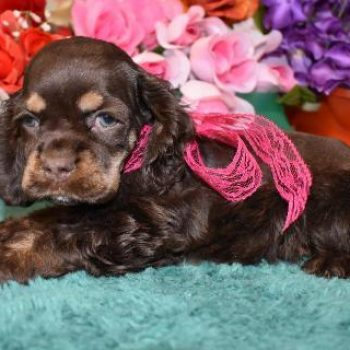 Chocolate Merle cocker spaniel puppies