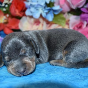 blue tan smooth coat miniature dachshund puppies in Colorado