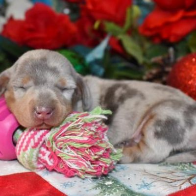 Mary's Cocker Haven AKC Miniature Dachshund Puppies for Sale in Colorado