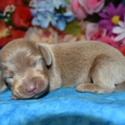 AKC Male isabelle tan smooth coat miniature dachshund puppies