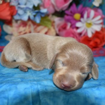 isabelle tan miniature dachshund puppies for sale