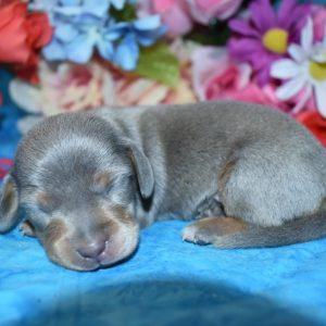 blue tan smooth coat miniature dachshund puppies