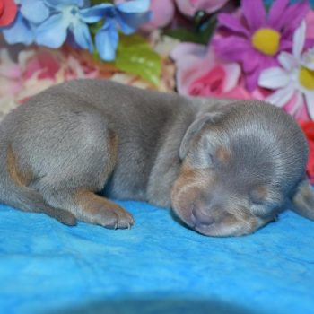 male blue tan smooth coat miniature dachshund puppies for sale in Colorado