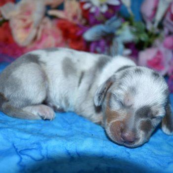 female blue cream dapple smooth coat miniature dachshund puppy