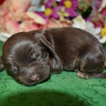 american AKC chocolate tan cocker spaniel litter