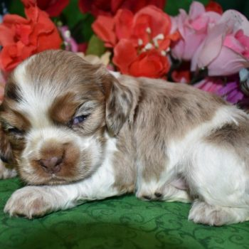 male chocolate tan merle cocker spaniel puppies for sale