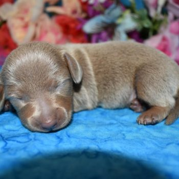 AKC female isabelle tan miniature dachshund puppies for sale