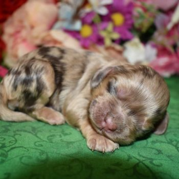 AKC Chocolate tan merle cocker spaniel puppies