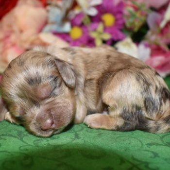female Chocolate tan merle cocker spaniel puppies