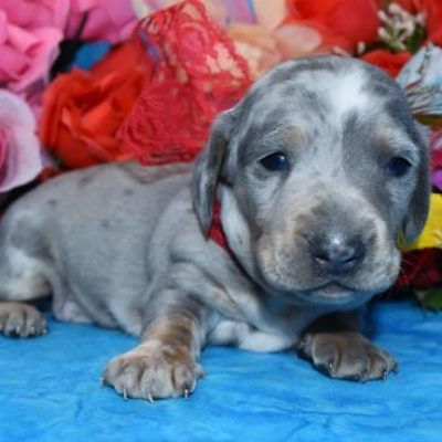 Mary's Cocker Haven AKC Miniature Dachshund Puppy for Sale in Colorado