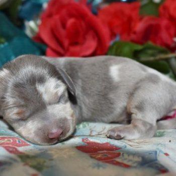 Blue Cream Dapple LH Miniature Dachshund Puppies