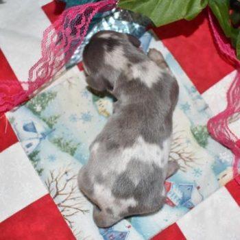 Blue Cream Dapple LH AKC Miniature Dachshund Puppies
