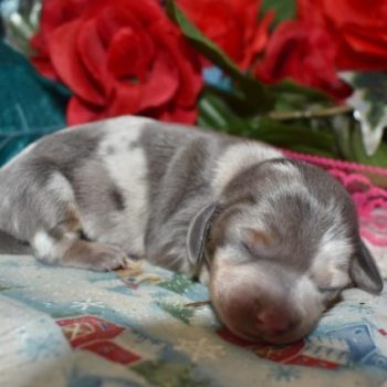 Blue Cream Dapple LH Miniature Dachshund Puppies for sale