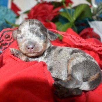 Blue Crea Dapple SH AKC Miniature Dachshund Puppies for sale